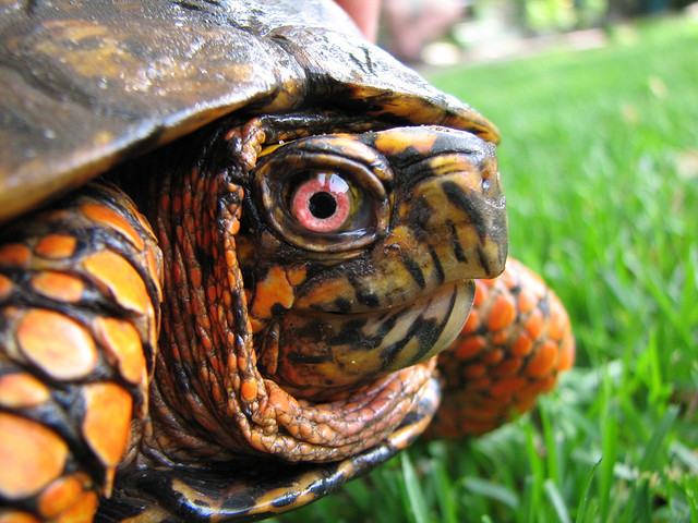 I Laughed so Hard, Box Turtle